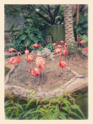 Flamingos Audubon Zoo